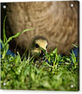 Mom Is Close Behind Acrylic Print