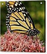 Monarch 1 Acrylic Print