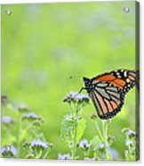 Monarch And Mist Acrylic Print
