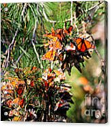 Monarch Butterfly Gathering Acrylic Print