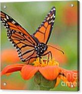 Monarch Butterfly Macro Acrylic Print