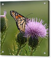 Monarch Butterfly On Bull Thistle Wildflowers Acrylic Print