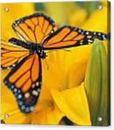Monarch Butterfly On Flower Acrylic Print
