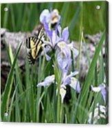 Butterfly On Iris Acrylic Print