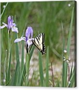 Monarch Butterfly On Iris Ser2 Acrylic Print