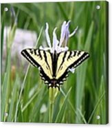 Butterfly On Iris Ser3 Acrylic Print
