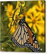Monarch Butterfly On Tickseed Sunflower Din146 Acrylic Print