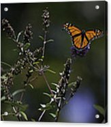 Monarch In Morning Light Acrylic Print