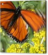 Monarch In Motion Acrylic Print