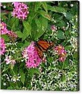 Monarch In The Garden   Acrylic Print