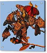 Monarch Migration Acrylic Print