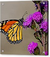 Monarch Acrylic Print by Mircea Costina Photography