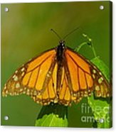 Monarch On Hackberry Acrylic Print