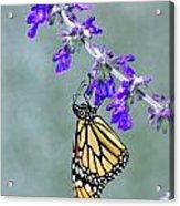Monarch On Purple Acrylic Print