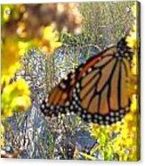 Monarch On The Dunes  Acrylic Print