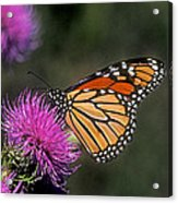 Monarch On Thistle 13f Acrylic Print