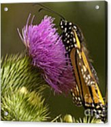 Monarch On Thistle 2 Acrylic Print