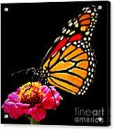 Monarch On Zinnia Acrylic Print