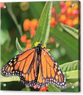 Monarch Sipping Acrylic Print