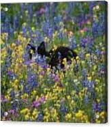 Monet's Cat Acrylic Print