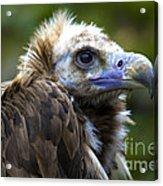 Monk Vulture Acrylic Print