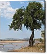 Monkey Bread Tree By The River Acrylic Print