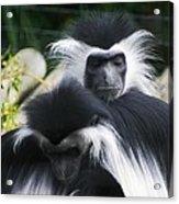 Monkey Business Acrylic Print