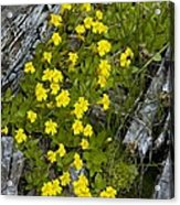 Monkey-flower (mimulus Primuloides) Acrylic Print