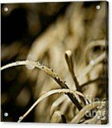 Monkey Grass Dewdew Acrylic Print