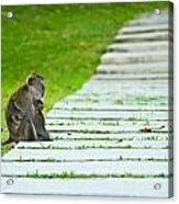 Monkey Mother With Baby Resting On A Walkway Acrylic Print