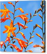 Montbretia And Blue Skies Acrylic Print