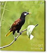 Montezuma Oropendula - Dp Acrylic Print