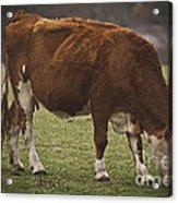 Moo Moo Cow Acrylic Print