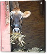 Moo Now Acrylic Print by Kathy Gibbons
