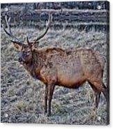 Moose 2 Acrylic Print