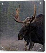 Moose, Algonquin Provincial Park Acrylic Print
