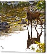 Moose Baby 2 Acrylic Print