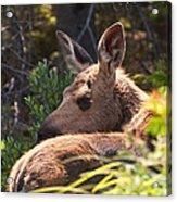 Moose Baby 5 Acrylic Print