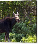 Moose Baxter State Park 4 Acrylic Print