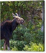 Moose Baxter State Park Maine 3 Acrylic Print