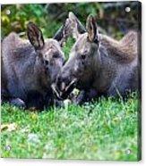 Moose Calves  Acrylic Print