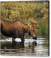 Moose Drinking In A Pond, Tombstone Acrylic Print