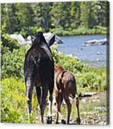 Moose Ends Baxter State Park Maine Acrylic Print
