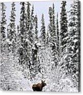 Moose In Deep Snow, Near Teslin, Yukon Acrylic Print