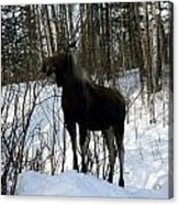 Moose In Winter Acrylic Print