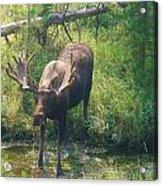 Moose Is Loose Acrylic Print