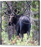 Moose Looks Acrylic Print