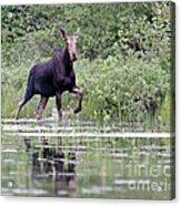 Moose On The Move Acrylic Print