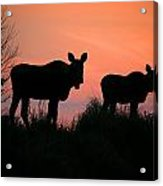 Moose Silhouetted At Sunset Acrylic Print