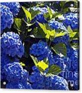 Mophead Hydrangeas Dry Brushed Acrylic Print